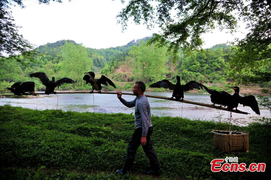 Fisherman vows to keep cormorant fishing alive
