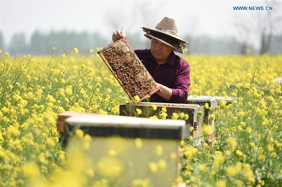 Beekeepers collect honey in cole flower field